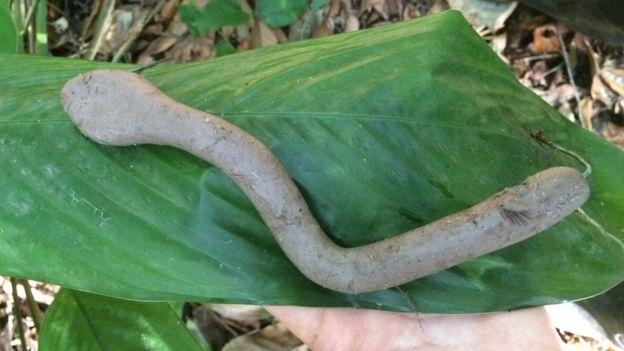Réplicas predada por ave na cabeça, mamífero e também mordida por mamífero na vegetação
