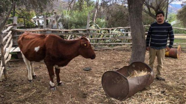 Agricultor Aldo Norman posa para foto ao lado de uma de suas vacas, emagrecida por causa da seca