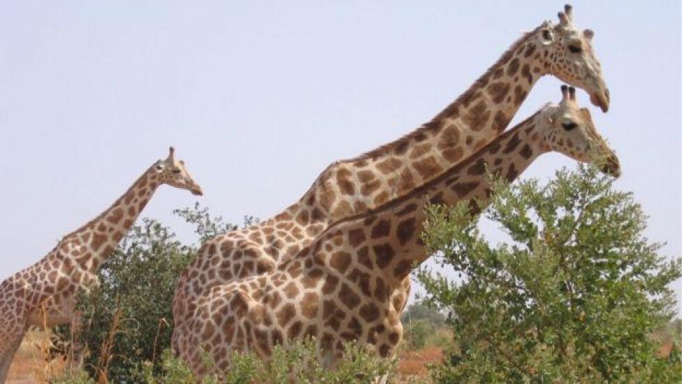 Girafes du Niger
