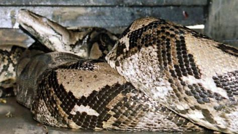 A 49-foot-python is seen at a zoo in Kendal, in Central Java 29 December 2003.