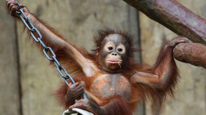 One of the orangutans born at the zoo - Changi