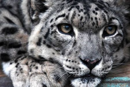 Snow Leopard Face With Blue Eyes 4k Pictures 4k Pictures Full
