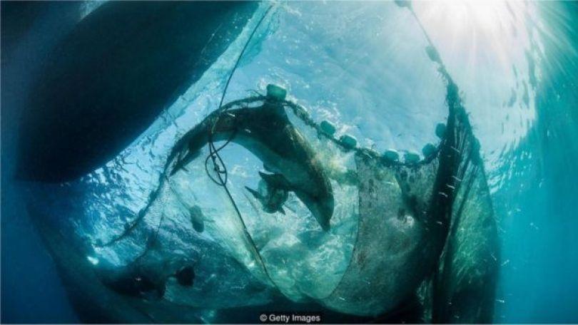 Golfinho preso em rede de pesca