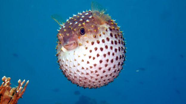 سمكة منتفخة مصورة في البحر الأحمر في مصر