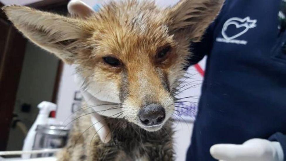 Fox at the sanctuary