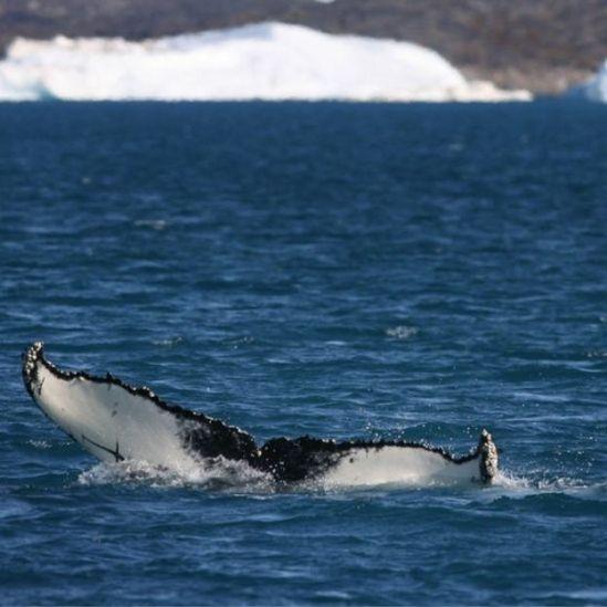 Ballena en el Ártico.