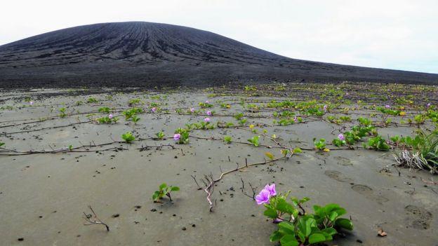 Plantas com flores no lodo, na nova ilha do Pacífico