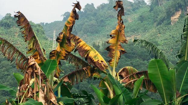 Plantas de banano infectadas por el hongo Fusarium oxysporum