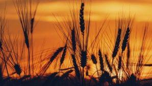 Plantaciones de trigo