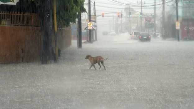 A dog crosses a street under heavy rain in downtown Kingston, Jamaica (02 October 2016)