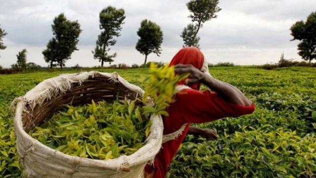 Homem em colheita de chá em Nairobi