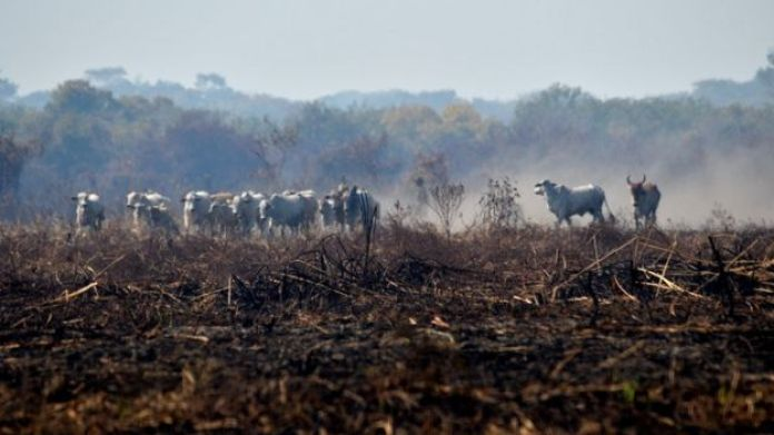 Gado em meio ao fogo do Pantanal
