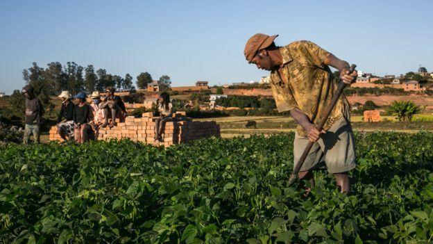 Les agriculteurs de Madagascar cultivent l'atémisia, utilisée dans certains traitements contre le paludisme