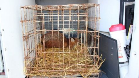 The RSPCA discovered this caged fox at the farm