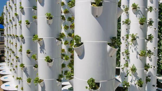 Lechugas cultivadas en vertical