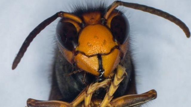 A large Asian Hornet