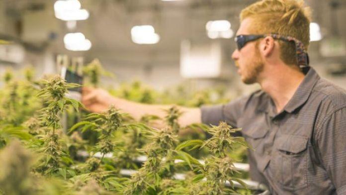 Produtor de maconha analisa a qualidade das plantas com um aparelho eletrônico