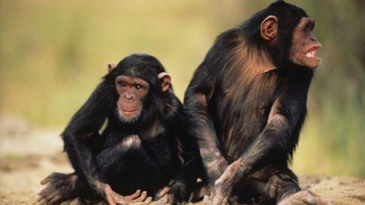 Kuma oturuan iki şempanze