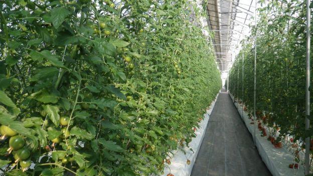 Plantação de tomates que dispensa terras