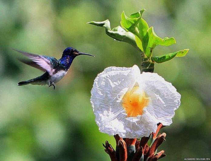 A hummingbird approaches a flower during at Soberania National Park, Panama