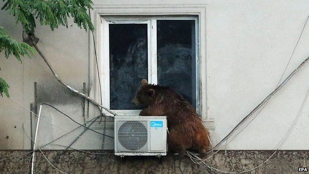 A handout picture provided by the Georgian Prime Minister's press office shows a runaway bear sitting on the window of the second floor of a building on the flooded street in Tbilisi, Georgia on 14 June 2015
