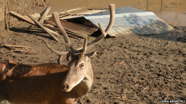 Deer in Tbilisi zoo (June 2015)