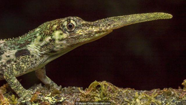 Mengapa kadal pinokio berhidung panjang? - BBC News Indonesia