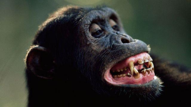 Шимпанзе мають дуже багату міміку