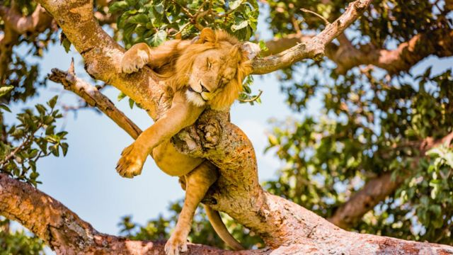 퀸 엘리자베스 국립공원의 사자들은 나무 위에 오르는 독특한 능력으로 인기가 많았다
