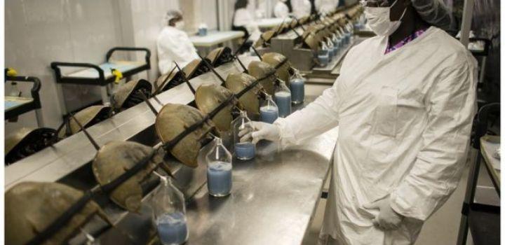 गँगटाको मुटुको छेउमा प्वाल पारेर करिब ३० प्रतिशत रगत सङ्कलन गरिन्छ
