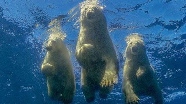 아모스 나첨이 허드슨 베이에서 촬영한 북극곰 어미와 새끼들