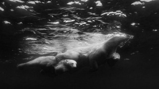 새끼와 헤엄치고 있는 북극곰