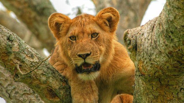 퀸 엘리자베스 국립공원 사자