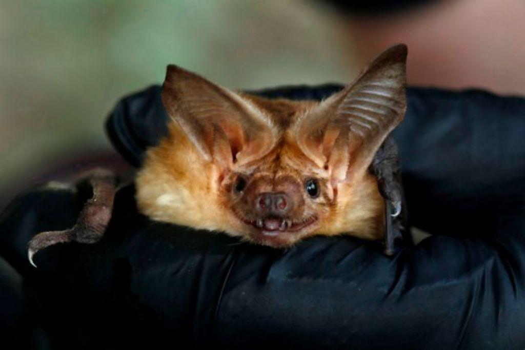 科学家们认为,新冠病毒很可能是通过蝙蝠经另一中间宿主传播到人类。
