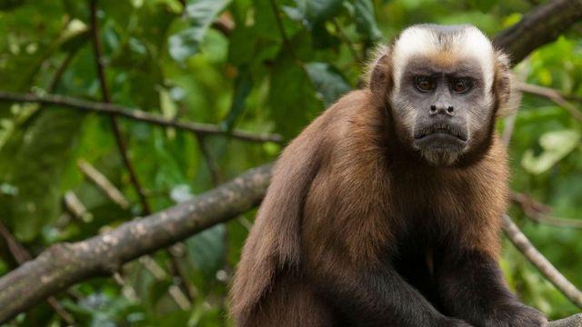 Мавпи капуцини