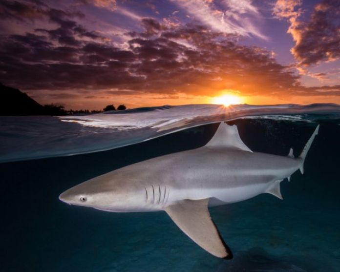 Shark at sunset on the beaches of French Polynesia