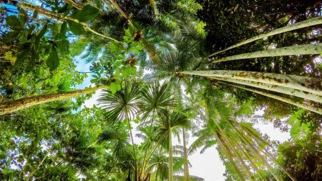 Palmeiras na Amazônia, Peru