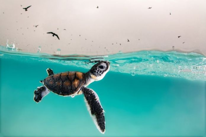 Green sea turtle hatching, Heron Island, Australia.