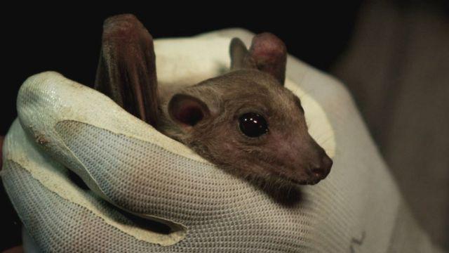Filhote de morcego segurado por mão com luva