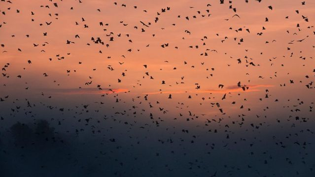 Revoada de morcegos ao por-do-sol