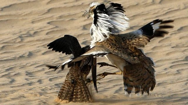 A hunting falcon preys on a houbara in the Al-Marzoom hunting reserve, located 150 km west of Abu Dhabi in the United Arab Emirates, on February 2, 2016.