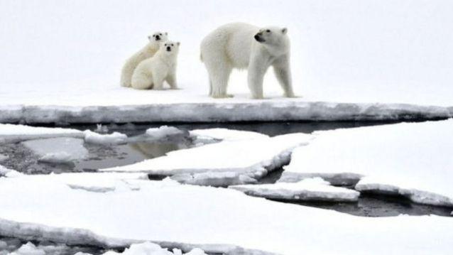 Ursos polares caminham sobre a neve