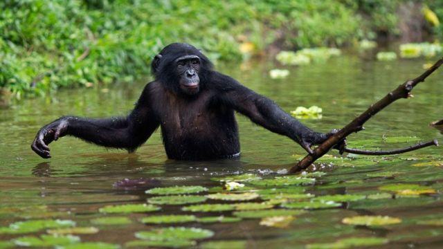 Бонобо намагається дістати їжу за допомогою палки