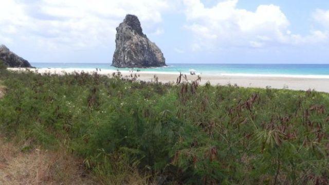 Duna coberta de leucenas em praia de Fernando de Noronha