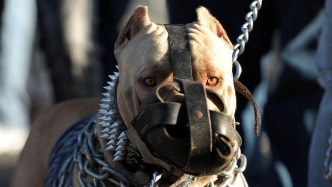 Image result for pitbulls fighting