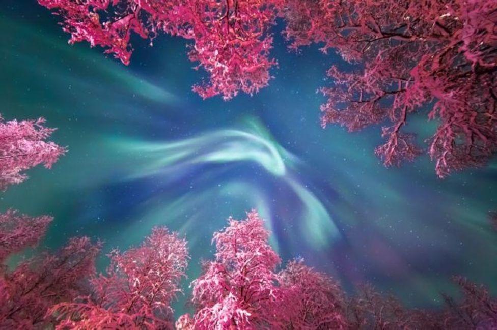 الشفق القطبي فوق أشجار تغطيها الثلوج في منطقة مورمانسك في روسيا،