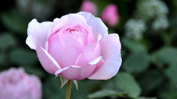 A rose in Diarmuid Gavin's Harrods British Eccentrics garden