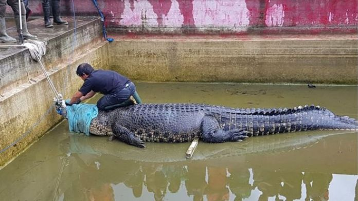 Merry being secured before being taken out of its enclosure in Minahasa in North Sulawesi (14 Jan 2019)
