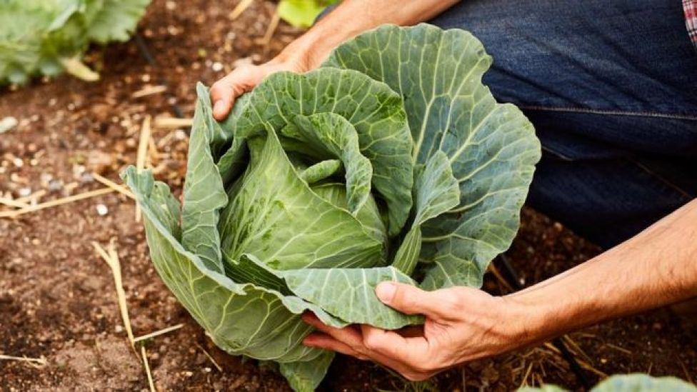 102965681 gettyimages 643644674 - How the humble cabbage can stop cancers