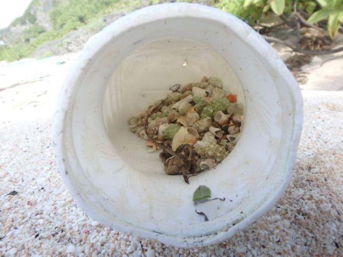 Araştırmacılar tek bir plastik kutuda 526 keşiş yengeci bulduklarını söylüyor